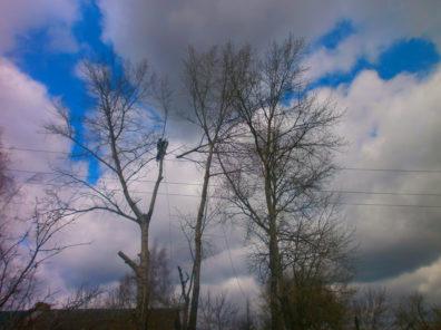 Топиарная обрезка (топпинг) тополей на частном участке в Тульской области.