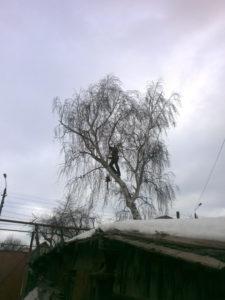 """Большая берёза выорсла над крышей частного дома. Для аккуратного спиливания дерева хозяева наняли арбористов из компании """"Дровосек эксперт"""""""