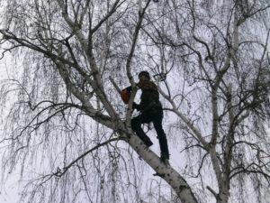 Арборист аккуратно поднялся на дерево для его последующей опиловки.