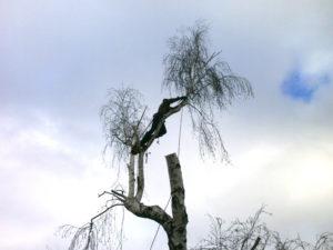 Все ветки и части ствола дерева подстраховываются крепкими тросами для избежания их падения на крышу дома.