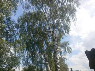 Спиливание берёз без автовышки в Туле и Тульской области