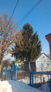 Большая ёлка выросла во дворе частного дома в Калуге.