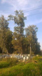 Большая ива выросла на кладбище в Ясногорском районе Тульской области