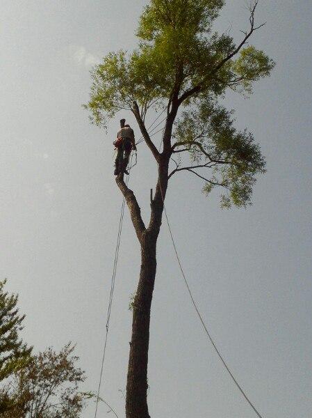 Арборист аккуратно опиливает ветви дерева