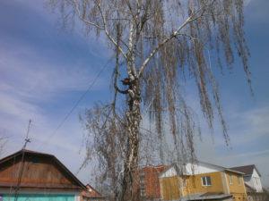 "Арбористы ГК "" Дровосек Эксперт"" аккуратно опиливают ветви дерева над забором"